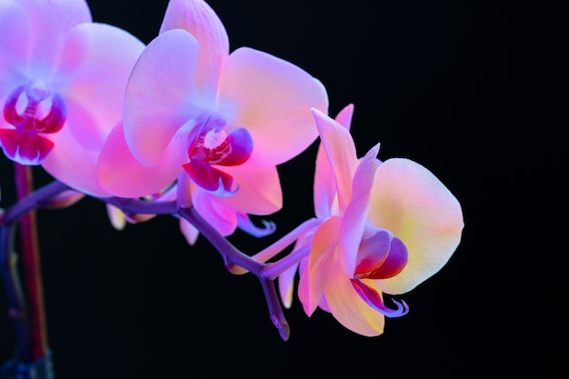 Still life with beautiful orchid flowers on black background close up