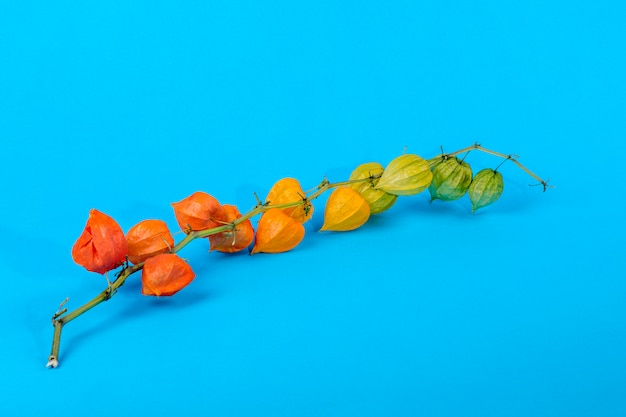 Still life with physalis branch on a blue