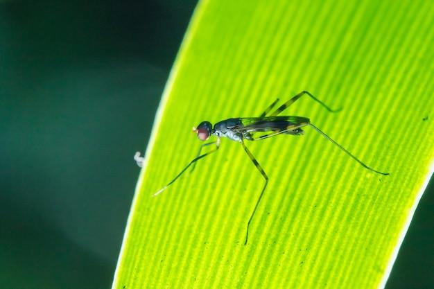 Мухи на ходулях на листьях - это маленькие, стройные насекомые.