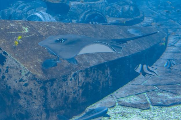 Скат плавает под водой. короткохвостый скат или гладкий скат (bathytoshia brevicaudata) - распространенный вид скатов семейства dasyatidae. атлантида, санья, остров хайнань, китай.