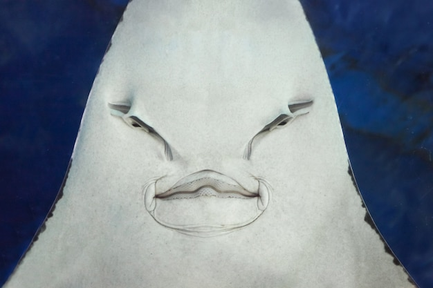 Stingray face