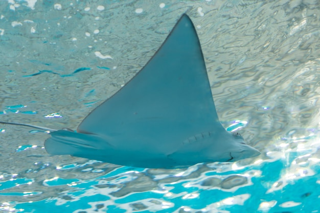 Stingray in the sea