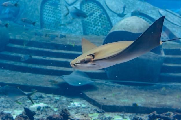 水中で泳ぐアカエイ。アカエイは海猫とも呼ばれ、温帯および熱帯の海域で見られます。アトランティス、三亜、海南島、中国。