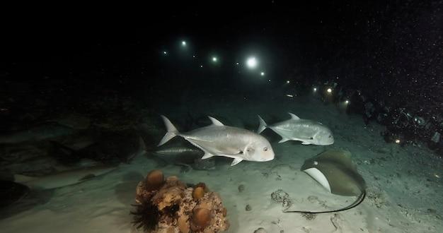 アカエイと魚は海底の暗い夜に水中を泳ぎます。青い海の水中の海洋生物。動物界の観察。キューバの海岸、カリブ海でのスキューバダイビングアドベンチャー