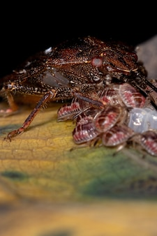 Stink bug of the genus antiteuchus protecting eggs with selective focus