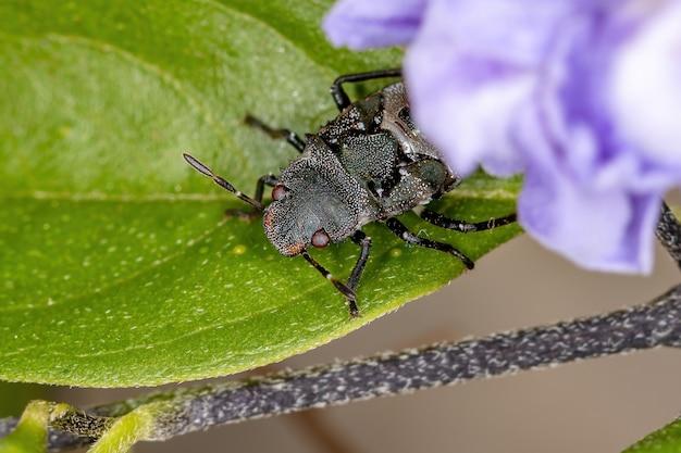 Stink bug nymph of the family pentatomidae that mimics cephalotes tortoise ants