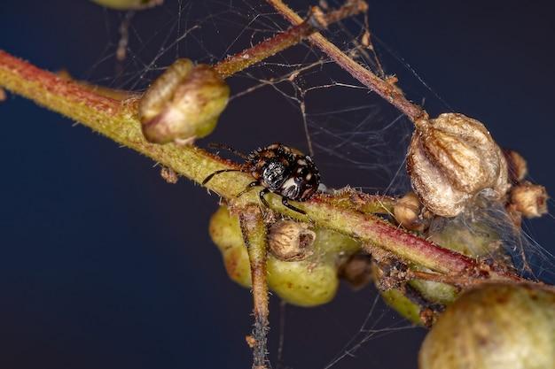 Stink bug nymph of the family pentatomidae