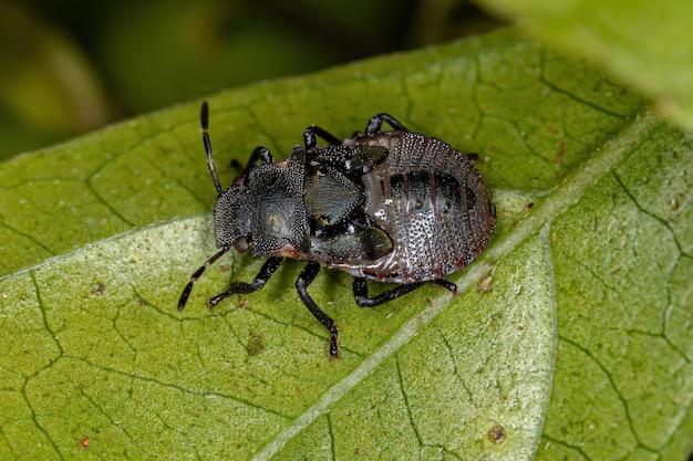Нимфа-вонючка из семейства pentatomidae, имитирующая головоногих черепаховых муравьев
