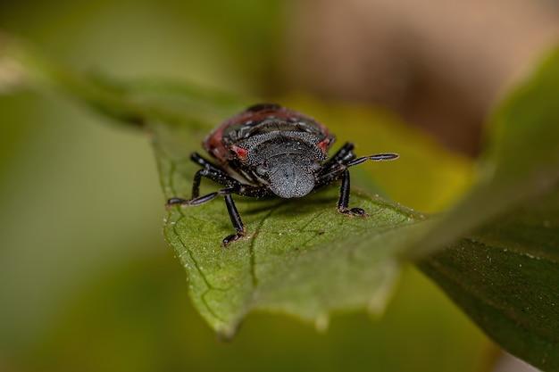 두족류 거북이 개미를 모방한 오각류과의 노린재 님프