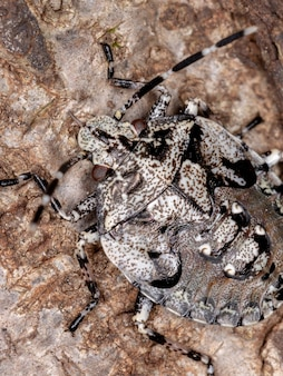 Antiteuchus属の悪臭バグ