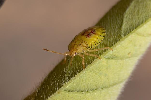 Stink bugs nymph of the family pentatomidae