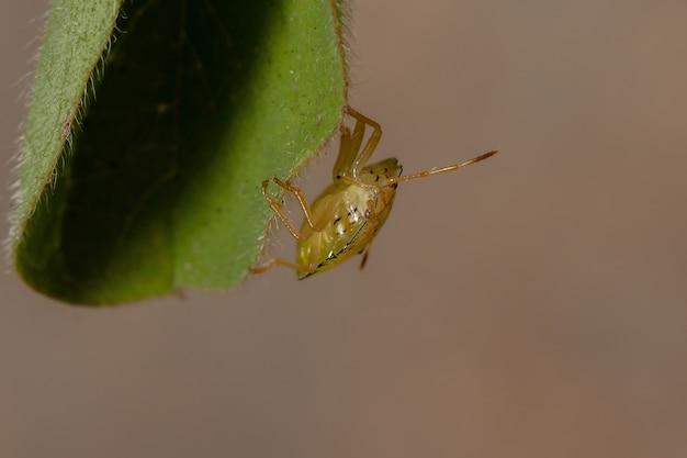 カメムシ科の昆虫 ペンタトミダエ