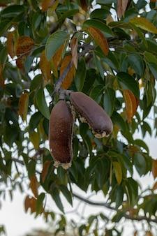 선택적 포커스가 있는 hymenaea courbaril 종의 과일이 있는 stinkingtoe 나무
