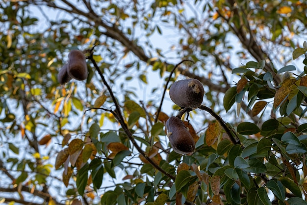 Stinkingtoe tree with fruits of the species hymenaea courbaril with selective focus