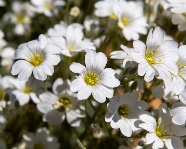 晴れた日にステッチワートの花