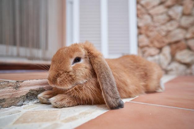 Стоковая фотография коричневого ушастого кролика, растянутого перед дверью снаружи дома. домашний питомец