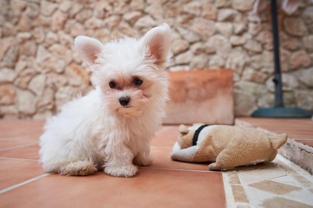 Стоковое фото rf маленькая собака сидит на террасе с плюшевой игрушкой сбоку