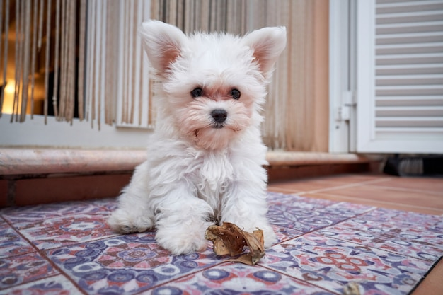 Stock photo of a small dog sitting on his blind outside the terrace and playing with a dry leaf