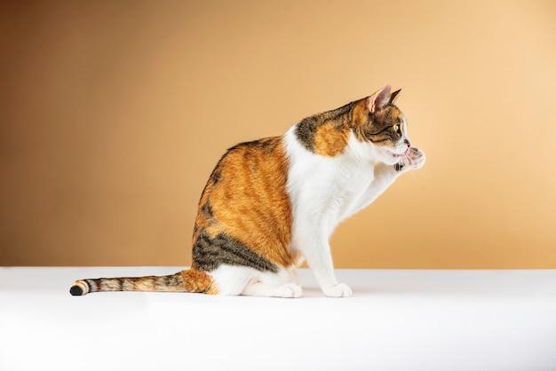 ストックフォト猫の足をなめる