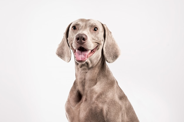 Stock photography gray weimaraner breed dog on white