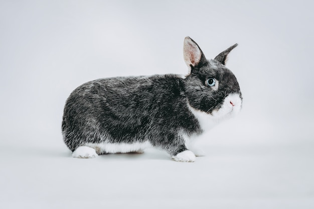 Stock photography of white and gray rabbit on white blue eyes