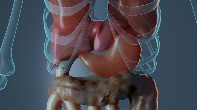 Анатомия желудка в мужском теле
