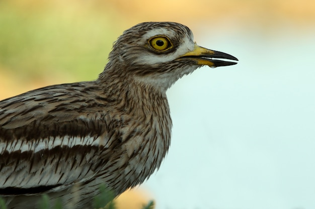 Stone-curlew with the first lights of dawn at a water point