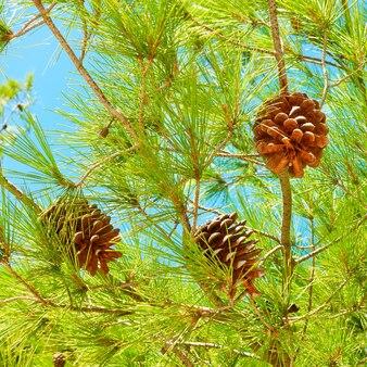 Кедр - зеленое хвойное дерево с шишками крупным планом (лат. pinus pinea)