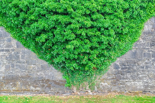 Stone wall overgrown with pyramid shaped ivy plant.