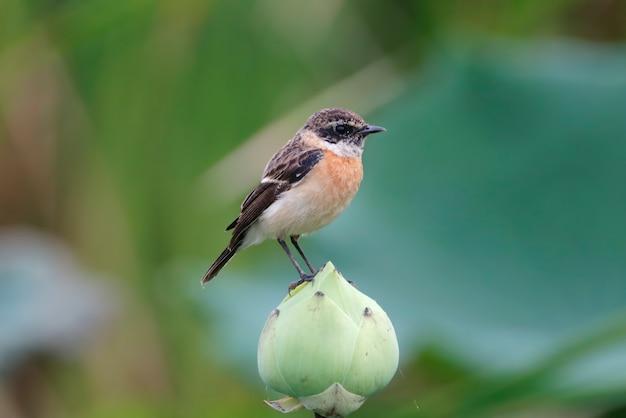 東のstonechat saxicola stejnegeri蓮の花に雄鳥