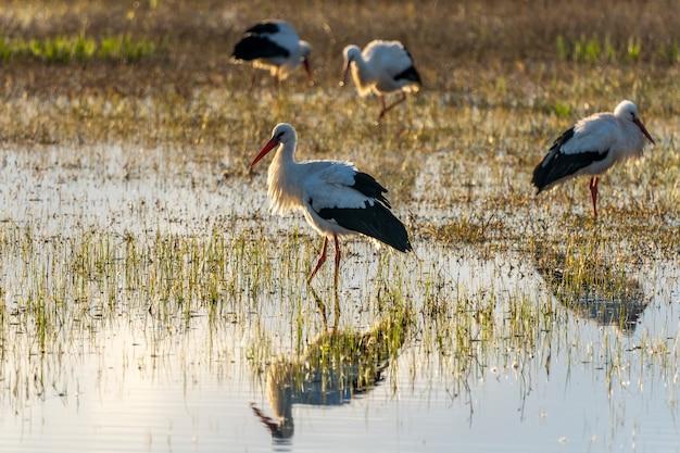 Ampurdan의 습지의 자연 공원에서 새벽 황새.