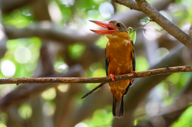 Stork-billed kingfisher perching on tree branch with green bokeh  , thailand