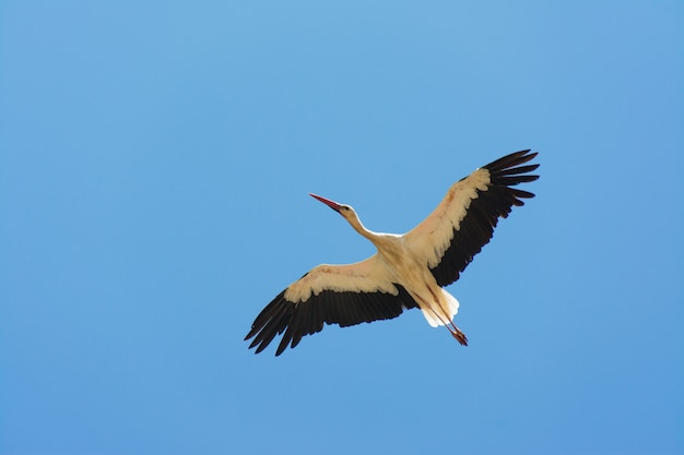Stork in fly in algarve, portugal