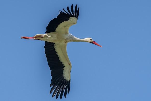 Ampurdan의 늪의 자연 공원에서 비행 황새.