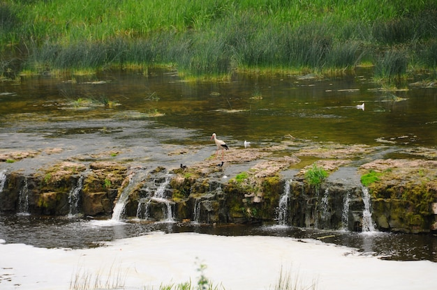 Stork and venta waterfall, kuldiga river, latvia.