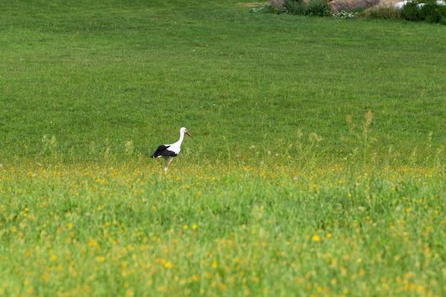 草原の上を歩くコウノトリ