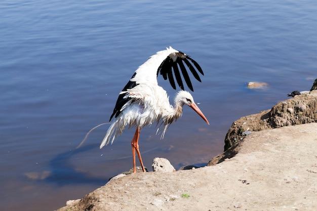 날개를 이혼 한 황새. 여름에는 호수. 사진 근접 촬영