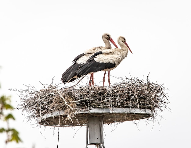 Storks perched on a hay nest on a pole under a cloudy sky