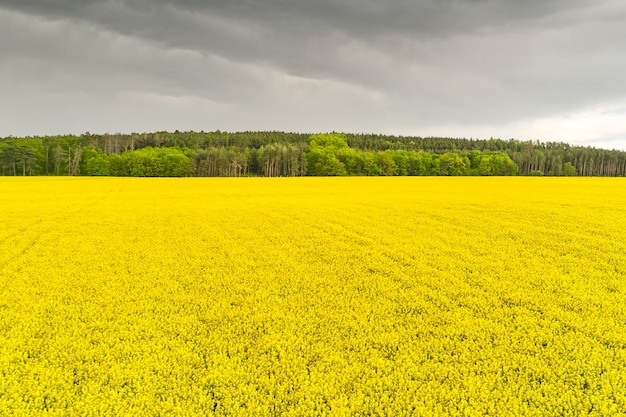 Storm in a rapeseed field and forest
