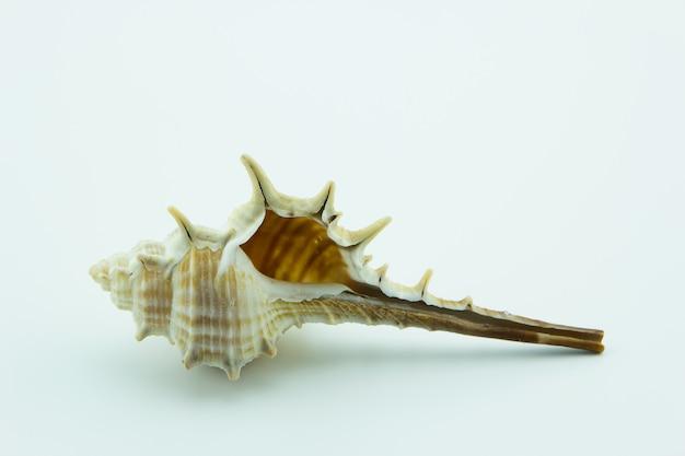 Stout-spine murex,murex trapa on white background.