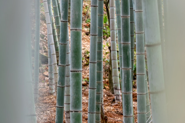 Straight bamboo in the bamboo forest