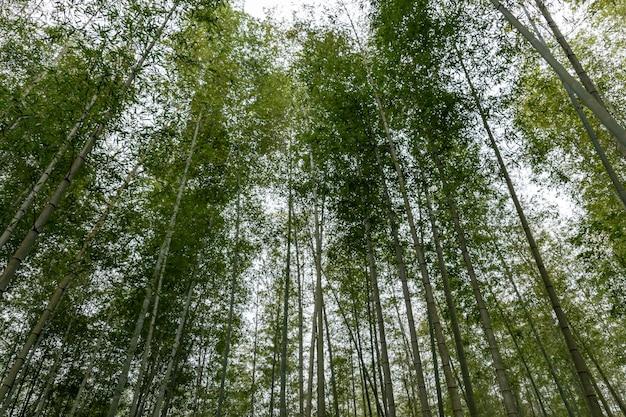 대나무 숲에서 곧은 대나무