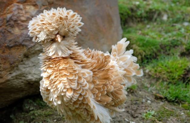 Strange chicken on grass between rocks in the mountains in austria