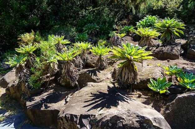 Странные растения с канарских островов, растущие среди скал с длинными зелеными листьями. гран-канария. испания