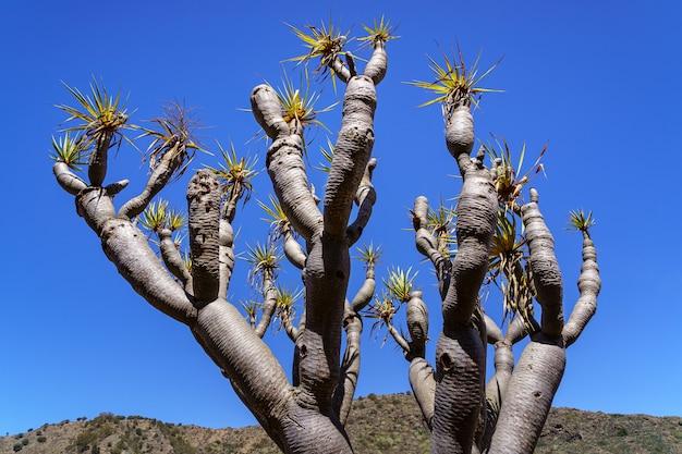 푸른 하늘을 배경으로 카나리아 제도의 전형적인 draco라고 불리는 이상한 나무. 그란 카나리아. 스페인. 유럽.