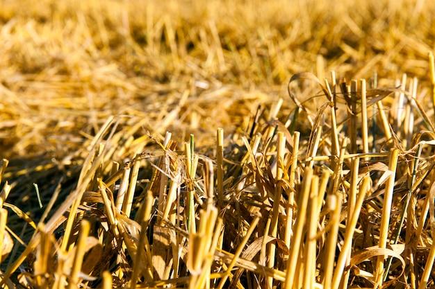 収穫後のわら-面取りされた切り株の黄色いわらの一部のままだった農地