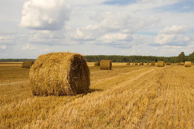 Straw bales on the field after harvest. rural nature in the farm land with straw on the meadow. countryside natural landscape. harvesting concept.