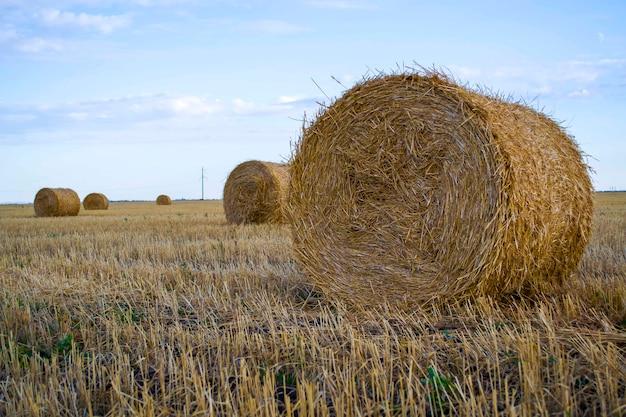 Тюки соломы солома пшеницы тюки готовы к загрузке на поле новый урожай желтая солома