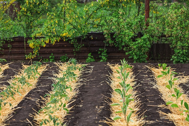 Straw mulched beds of tomatoes and eggplants.