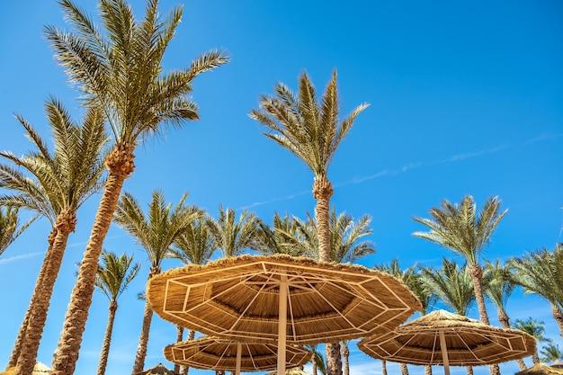Зонтики соломенной тени и свежие зеленые пальмы в тропическом регионе на фоне яркого голубого неба летом.